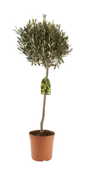 Olivier tige olea europaea pot de 3.5 l, H.110 cm